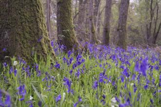Bluebell wood in Surrey