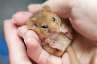 Dormouse in hands
