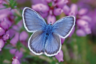 Silver-studded blue butterfly on heather