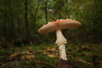 Fly agaric in woodland