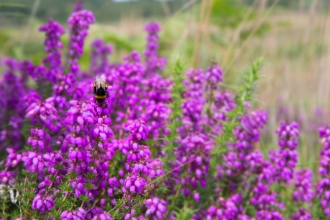 Pink Bell Heather