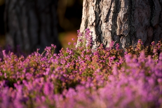 Bell heather on heathland
