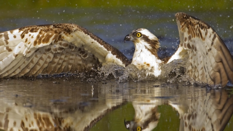Osprey diving for fish