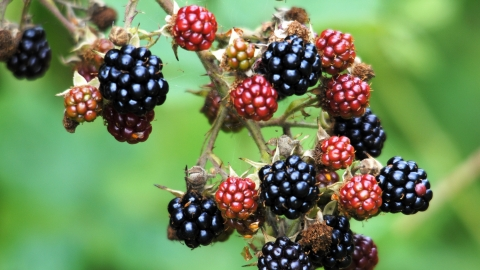 Bramble (blackberries)