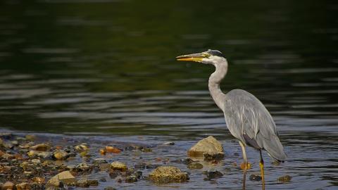 grey heron surrey wildlife trust