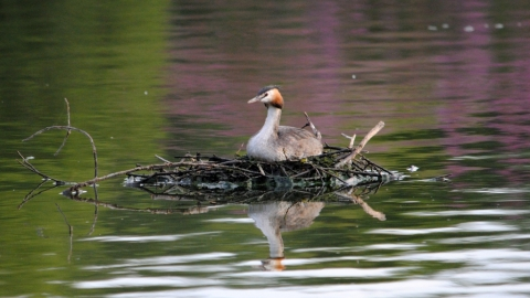 Nesting great crested grebe