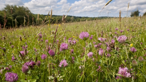 Red clover in wildflower meadow