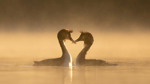Great crested grebe courtship