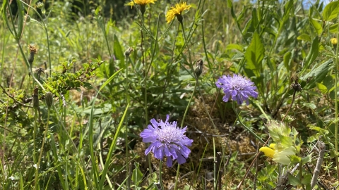 Scabious at Howell Hill