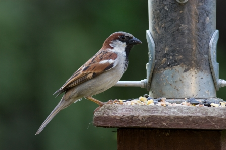 House sparrow on feeder