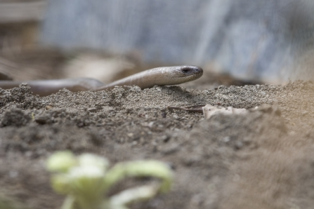Slow worm in garden