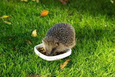 Feeding hedgehog