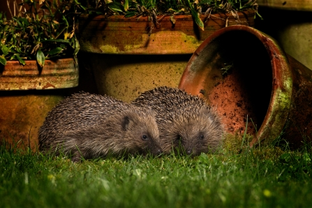 Hedgehogs in garden at dusk