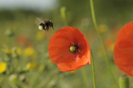 Bumble bee on poppy