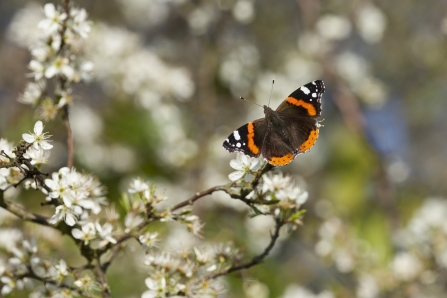 Red admiral on blackthorn