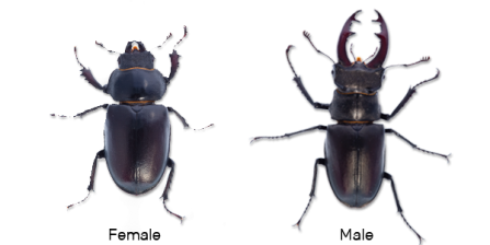 Stag beetle comparison