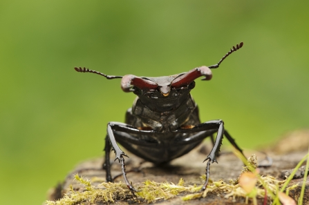 Stag beetle on log