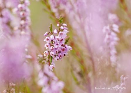 Blooming Heather Surrey Wildlife Trust