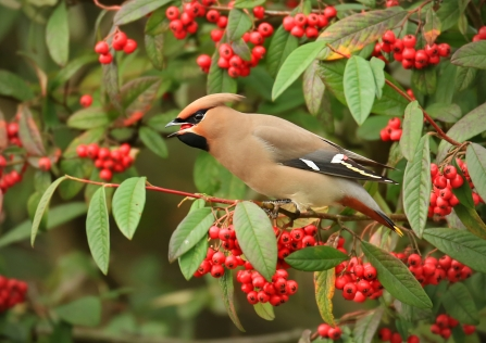 Foraging waxwing