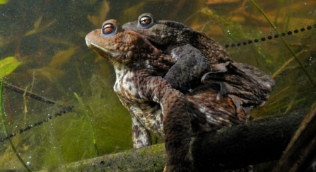 Mating toads and spawn