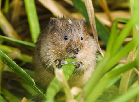 Water vole feeding