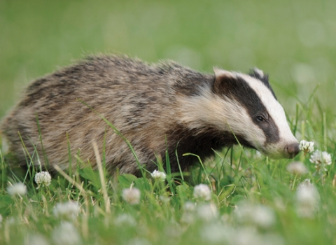 Badger in clover field