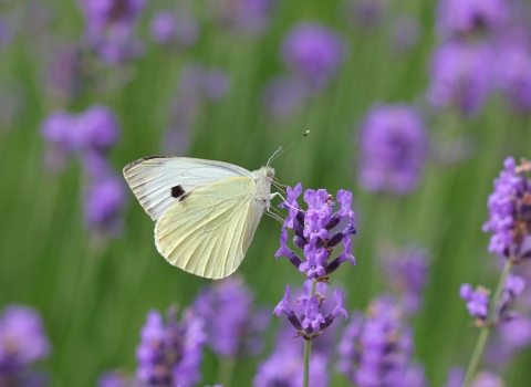 Small white butterfly on lavendar